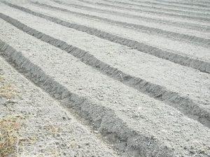畑でチモシー栽培