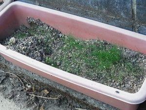 牧草のプランター栽培